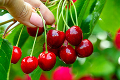 A woman's hand tears red cherries from a tree (wuestenigel) Tags: raw natural group berry closeup water sweet delicious cherry background hand red female leaves fresh vegetarian macro tree green food healthy holds nutrition ripe juicy fruit drops organic