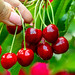 A woman's hand tears red cherries from a tree