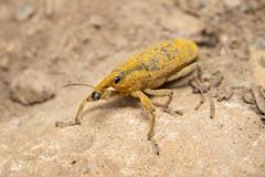 Lixus sp. (a lixine weevil) - Curculionidae - Environmental Trail, Shipka, Kazanlak, Bulgaria-3 (Nature21290) Tags: bulgaria bulgaria2019 coleoptera curculionidae kazanlakvalley lixus may2019 shipka insect