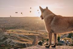 DSCF7736 (KirillSokolov) Tags: yellow kappadokia fujifilm fujifilmru xtrance mirrorless xt2 travel trip goreme turkey турция гореме путешествия фуджи беззеркалка воздушныйшар balloons sky landscape sunrise рассвет пейзаж dog собака