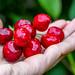 In his hand fresh ripe red cherries