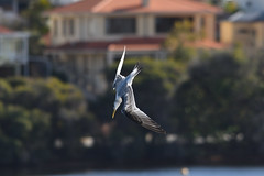 Crested Tern (philk_56) Tags: western australia perth canning river crested tern water bird flight flying diving