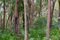 Tilligerry Bush (fate atc) Tags: australia eucalyptusrobusta lemontreepassage melaleucaquinquenervia nsw newsouthwales paperbarktree portstephens swampmahogany tanilbabay tilligerryhabitat bush nearwater swampy trees