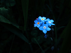 (decemberGirl.) Tags: flowers blue nature myosotis forgetmenot