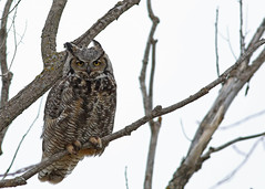 Great Horned Owl...#26 (Guy Lichter Photography - 5.1M views Thank you) Tags: canon 5d3 canada manitoba wildlife animal animals bird birds owl owls greathornedowl male