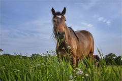 The fresh green (Marijke M2011) Tags: horse meadow grass reed outdoors valeriaan