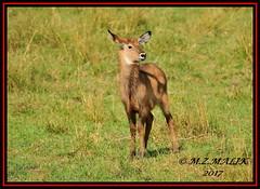 DEFASSA WATERBUCK (Kobus ellipsiprymnus)......MAASAI MARA......SEPT 2017 (M Z Malik) Tags: nikon d3x 200400mm14afs kenya africa safari wildlife masaimara keekoroklodge exoticafricanwildlife ngc npc