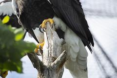Steller's sea eagle (Korkeasaaren eläintarha) Tags: korkeasaareneläintarha korkeasaarizoo helsinkizoo korkeasaari högholmen kuningasmerikotka linnut eläimet stellersseaeagle eagle birds