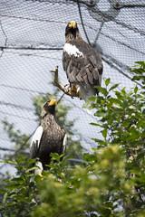 Steller's sea eagles (Korkeasaaren eläintarha) Tags: korkeasaareneläintarha korkeasaarizoo helsinkizoo korkeasaari högholmen kuningasmerikotka linnut eläimet stellersseaeagle eagle birds