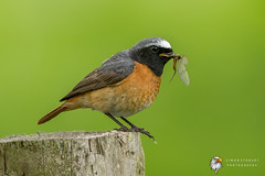 Redstart (Simon Stobart) Tags: redstart phoenicurus male perched mayfly north east england uk