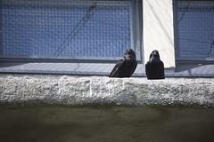 Ravens (Korkeasaaren eläintarha) Tags: korkeasaareneläintarha korkeasaarizoo helsinkizoo korkeasaari högholmen korppi linnut eläimet raven