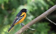 Baltimore Oriole (m) (hd.niel) Tags: baltimoreoriole birds songbird blackbird nature photography wildlife ontario photos migratory orioles male