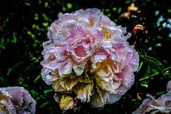 Flaming June (thepeterleigh) Tags: peony flower bloom garden fuji fujifilm xt2 natur nature weather rain raindrops wet june