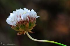 Armeria villosa subp longearistata (Lucas Gutiérrez) Tags: armeriavillosasubpslongearistata acequiasnevadenses silíceo parquenacionaldesierranevada laalpujarra granadanatural