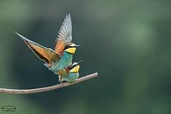 Accouplement-3 (mirage 31) Tags: coraciiformes europeanbeeeater guêpierdeurope hautegaronne meropsapiaster méropidés accouplement bird oiseau