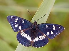 Southern white admiral (Limenitis reducta) (another walt) Tags: parc natural régional de la brenne southern white admiral limenitis reducta france butterfly 2imagestack