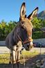 Arachova, Donkey at Aegli Hotel (1).JPG (tobeytravels) Tags: georgioskaraiskakis battle ski mountparnassus pleistos