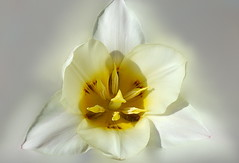 Tricorn Tulip (Arisha_g) Tags: tulip white flower