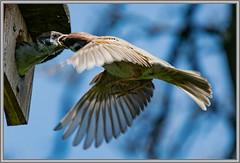 Spatzenfütterung (robert.pechmann) Tags: feldsperling spatz fütterung vogel robert pechmann nistkasten natur