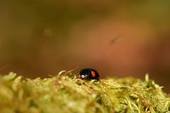 DSC_8533 (Hachimaki123) Tags: 日本 japan 御岳山 mitakesan mtmitake animal insect insecto coleopter coleóptero coleopteran coleoptero 虫 動物 ladybug mariquita