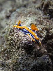Pegion Island (Chamikajperera) Tags: sri lanka srilanka diving trincomalee east coast sea underwater marine life travel beautiful fish lionfish snail ocean