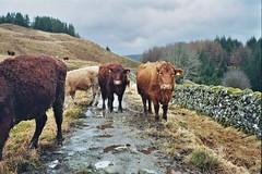 West Highland Way, April 2018 (edwardsholly) Tags: scotland highlandcows highlands film olympustrip35 westhighlandway 35mm olympus olympustrip