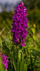 Southern Marsh Orchid (Dactylorhiza praetermissa) (BiteYourBum.Com Photography) Tags: dawnandjim dawnjim biteyourbum biteyourbumcom copyright©2019biteyourbumcom copyright©biteyourbumcom allrightsreserved uk unitedkingdom gb greatbritain england canoneos7d canonefs60mmf28macrousm canonmacrotwinlitemt26exrt apple imac5k lightroom6 ipadair appleipadair camranger manfrotto055cxpro3tripod manfrotto804rc2pantilthead loweproprorunner350aw sussex westsussex ferringrife ferring worthing southernmarsh orchid dactylorhiza praetermissa southernmarshorchid dactylorhizapraetermissa