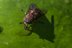 Stopping for a Drink (gvbtom) Tags: fly horsefly insects ohio