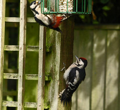 Woodpeckers (#2) Female feeding young (GABOLY) Tags: woodpeckers female juvenile garden feeding peanuts kent england june 2019