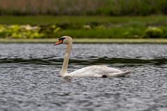 IMG_7556.jpg (Pete Andrusyszyn) Tags: capecod muteswan 2019 westyarmouth ©peteraandrusyszyn