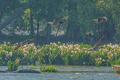 Rocky Shoals Spider Lilies 2019-05 07 (Jim Dollar) Tags: jimdollar rockyshoals spiderlilies landsfordcanalstatepark canadageese southcarolina catawbariver catawba birdsinflight canon5div