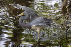 Tricolored Heron (DFChurch) Tags: tricolored heron florida nature bird wing feather swamp sixmilecypressslough fortmyers wild