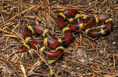 Scarlet Kingsnake (cre8foru2009) Tags: review