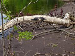 Scène de rivage - Shore scene (J. Trempe 3,960 K hits - Merci-Thanks) Tags: stefoy quebec canada rivage shore bois flotte driftwood plage beach eau water fleuve river stlaurent stlawrence