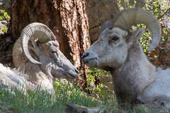 Lounging (RkyMtnGrl) Tags: wildlife nature bighorn rams sheep cliff lounging spring rmnp rockymountainnationalpark endovalley oldfallriver 2019