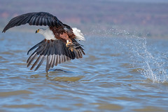 Dine n Dash (miTsu-llaneous) Tags: bird flight nature lake water kenya africa baringo fish fishing safari boat travel adventure travelphotography naturephotography naturescenes wildlife wildlifephotography wild eagle africanfisheagle nikon nikond500 d500 tamron 150600mm 150600 motion movement splash