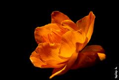 Trollius acaulis... (N.Batkhurel) Tags: season summer flower flora plant trolliusacaulis closeup mongolia macro ngc nikon nikond5200 natur nikkor 105mm