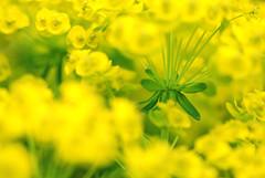 Euphorbia (only lines) Tags: euphorbia flowers plants garden