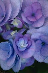 花 (fumi*23) Tags: ilce7rm3 sony sigma sigma70mmf28dgmacro a7r3 plant flower hydrangea purple emount 70mm 紫陽花 花 植物 ソニー シグマ