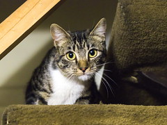 Clara. (Andres Bertens) Tags: 8660 olympusem10markii olympusomdem10markii olympusm45mmf18 olympusmzuikodigital45mmf18 rawtherapee pet cat
