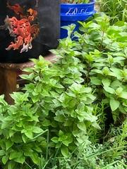 "My Small Garden (EDWW (day_dae) Esteemedhelga) Tags: brushstroke garden nature season flower splants bloom botany nursery parks blossom perennial annual bud cluster floret efflorescence seedling biennial greenery bouquet posy rosette natura mothernature greatmotherdamenature"" vegetation horticulture flora botanical juncture natural beauty creation siring passion sprout esteemedhelga edww daydae"
