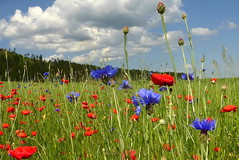 Colorful of  Summer 3 (tatranka7) Tags: flowers summer colors atmosphere landscape idyll field sky clouds
