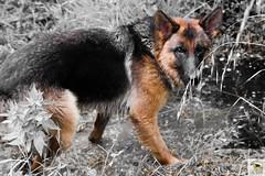 German Sherherd (Allevamento Casa Caligiani) Tags: germanshepherd pastoretedesco schäferhund gsd dog cane natura umbria bevagna italia