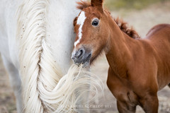 Camargue Horse (Alexandre & Chloé Bès - Waitandshoot Photography) Tags: waitandshoot canon horse camargue baby young white france south cheval playing close nature wild animal