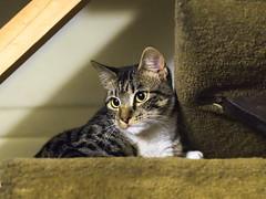 Clara. (Andres Bertens) Tags: 8669 olympusem10markii olympusomdem10markii olympusm45mmf18 olympusmzuikodigital45mmf18 rawtherapee pet cat
