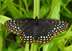 Baltimore Checkerspot - Euphydryas Phaeton (annette.allor) Tags: butterfly wildlife nature grass insect brushfoot