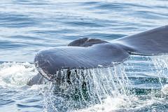 IMG_7976.jpg (Pete Andrusyszyn) Tags: capecod provincetown 2019 whalewatch ©peteraandrusyszyn massachusetts unitedstatesofamerica humpbackwhale