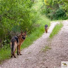 German Sherherd (Allevamento Casa Caligiani) Tags: pastoretedesco germanshepherd schäferhund gsd dog cane italia natura bevagna umbria