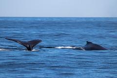 IMG_7989.jpg (Pete Andrusyszyn) Tags: capecod provincetown 2019 whalewatch ©peteraandrusyszyn massachusetts unitedstatesofamerica humpbackwhale