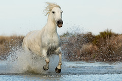 Camargue Horse (Alexandre & Chloé Bès - Waitandshoot Photography) Tags: waitandshoot canon horse cheval animal wild sauvage camargue running water beach white nature south france